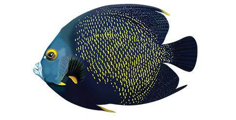 fransk kejserfisk